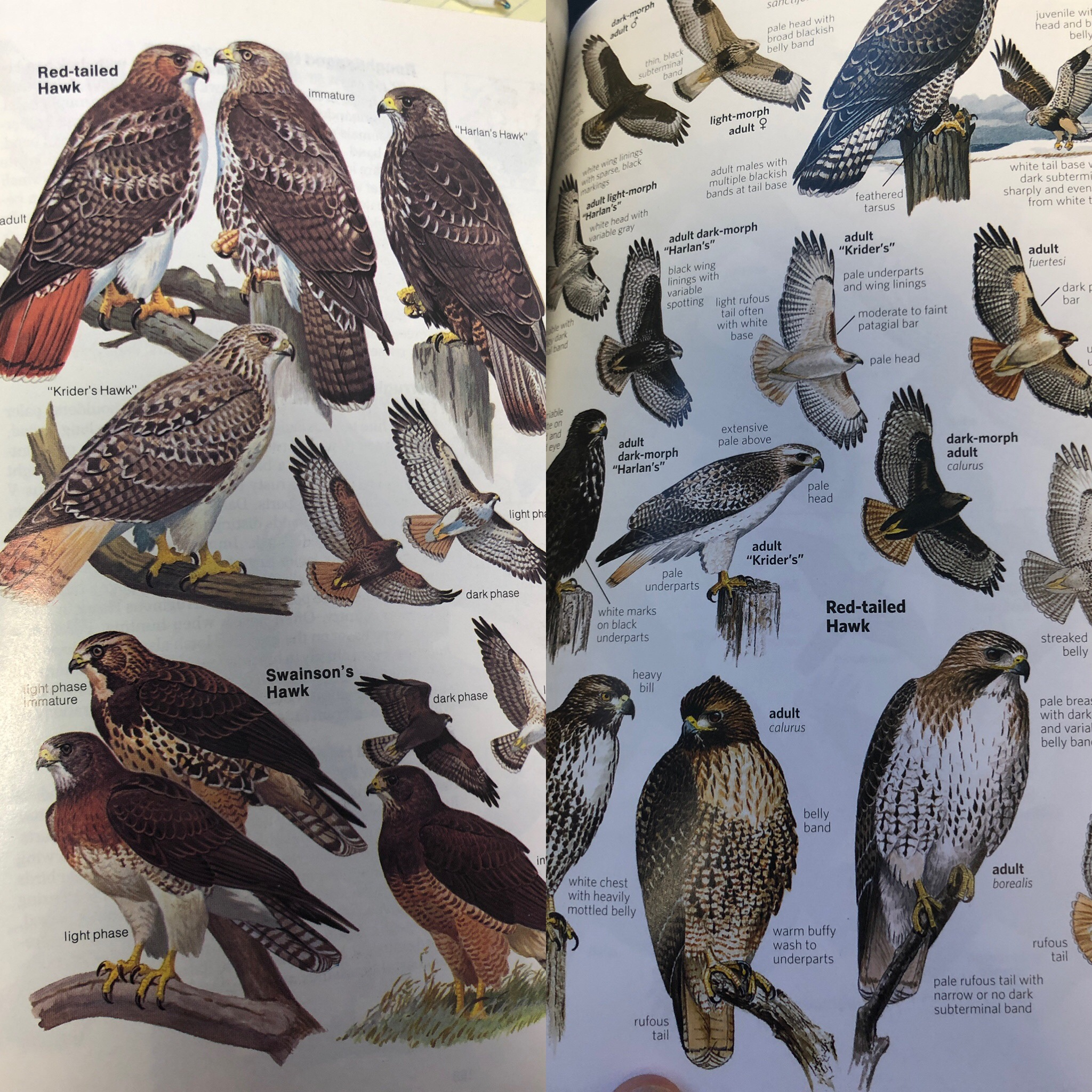 On the left we have the red-tailed hawk/Swainson's hawk page of the second edition. On the right is the new and improved red-tailed hawk/rough-legged hawk page.