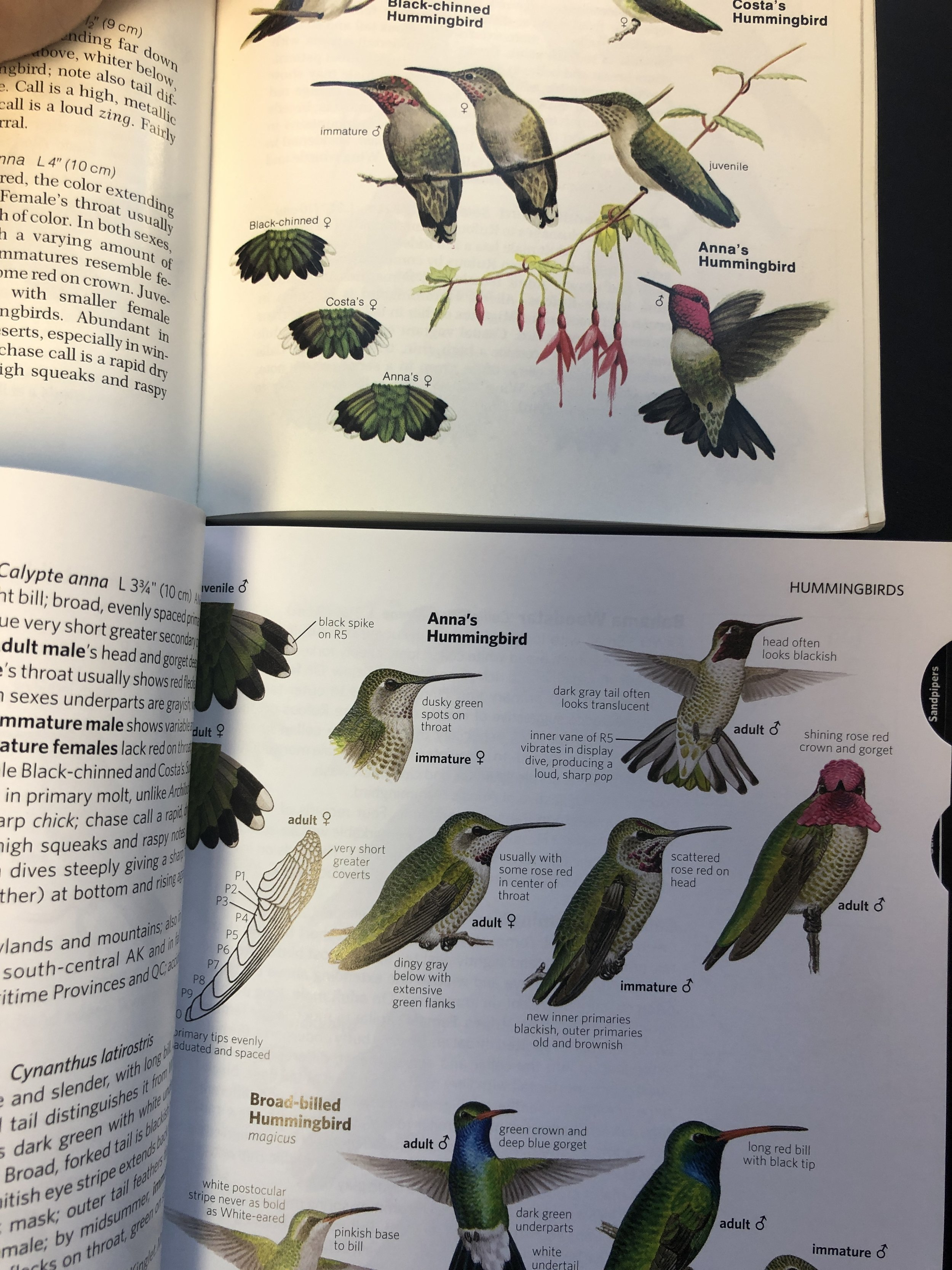 Every hummingbird illustration has been updated. On the top we have the second edition of Anna's hummingbird and below the seventh edition of Anna's hummingbird with up to the date field notes to help you separate them from other species of hummingbird.