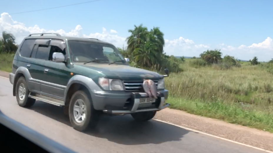 """Leaving Mabamba wetlands we saw several trucks with fish attached to the Grill. Herbert told us that people put it there to keep it cool and fresh on the drive home. We asked if it worked and he said, """"When I tried it, all I had was fish covered in insects and I never did it again."""""""