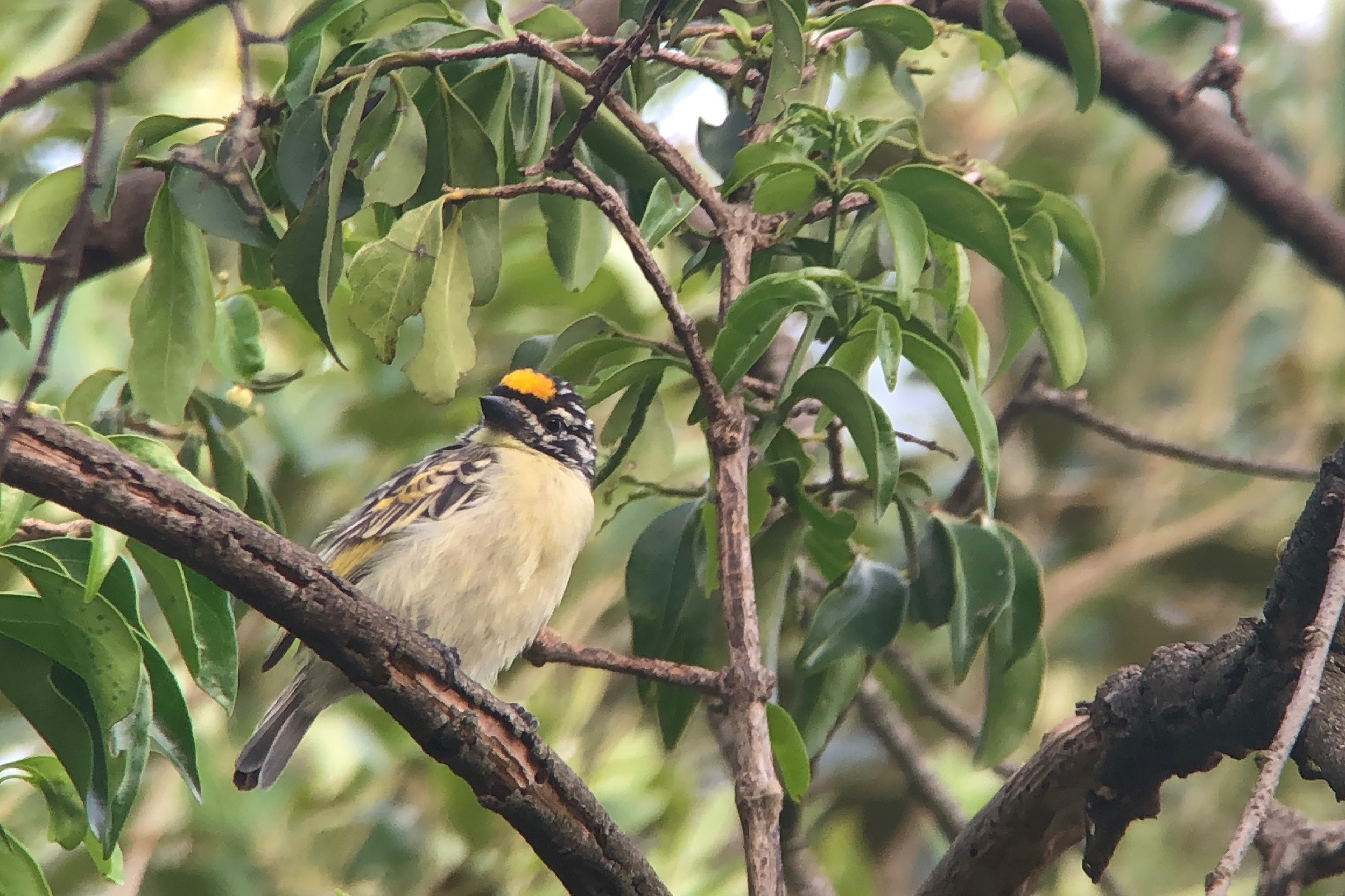 Yellow-fronted tinkerbird outside our vehicles.