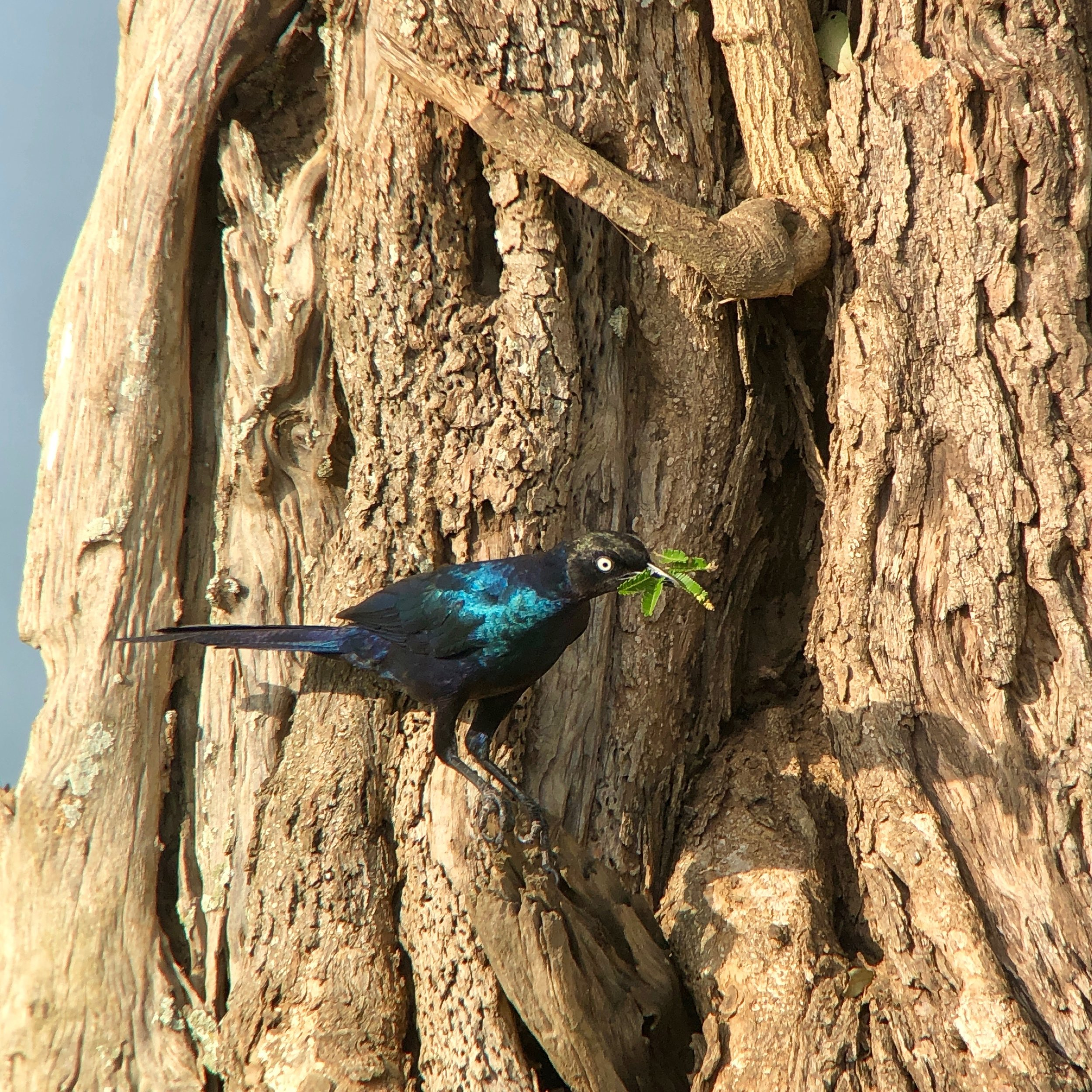 Rüppell's long-tailed starling adding material to a nesting cavity near the boat launch.