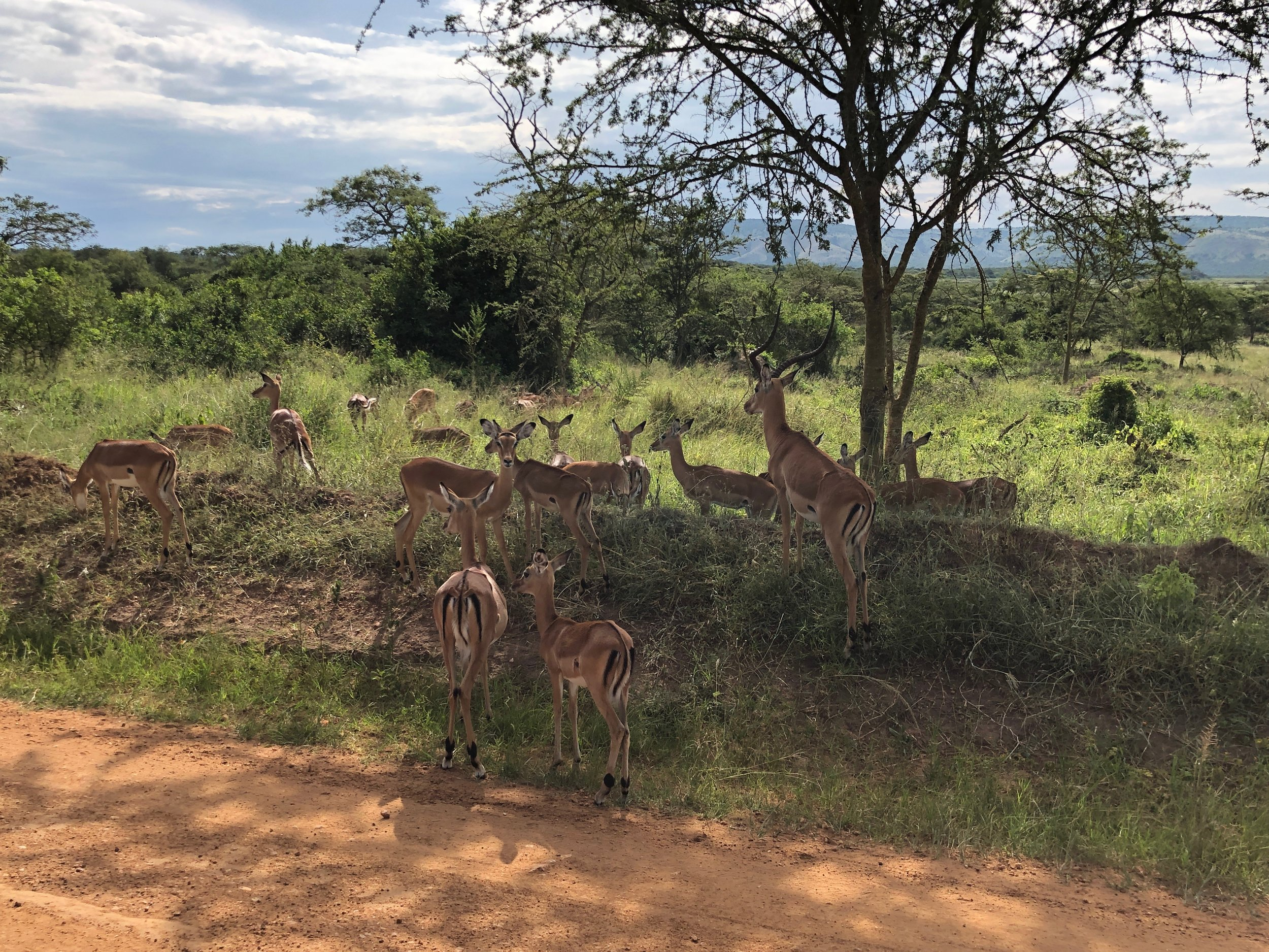 A herd of impala chilling in the shade on the side of the road.
