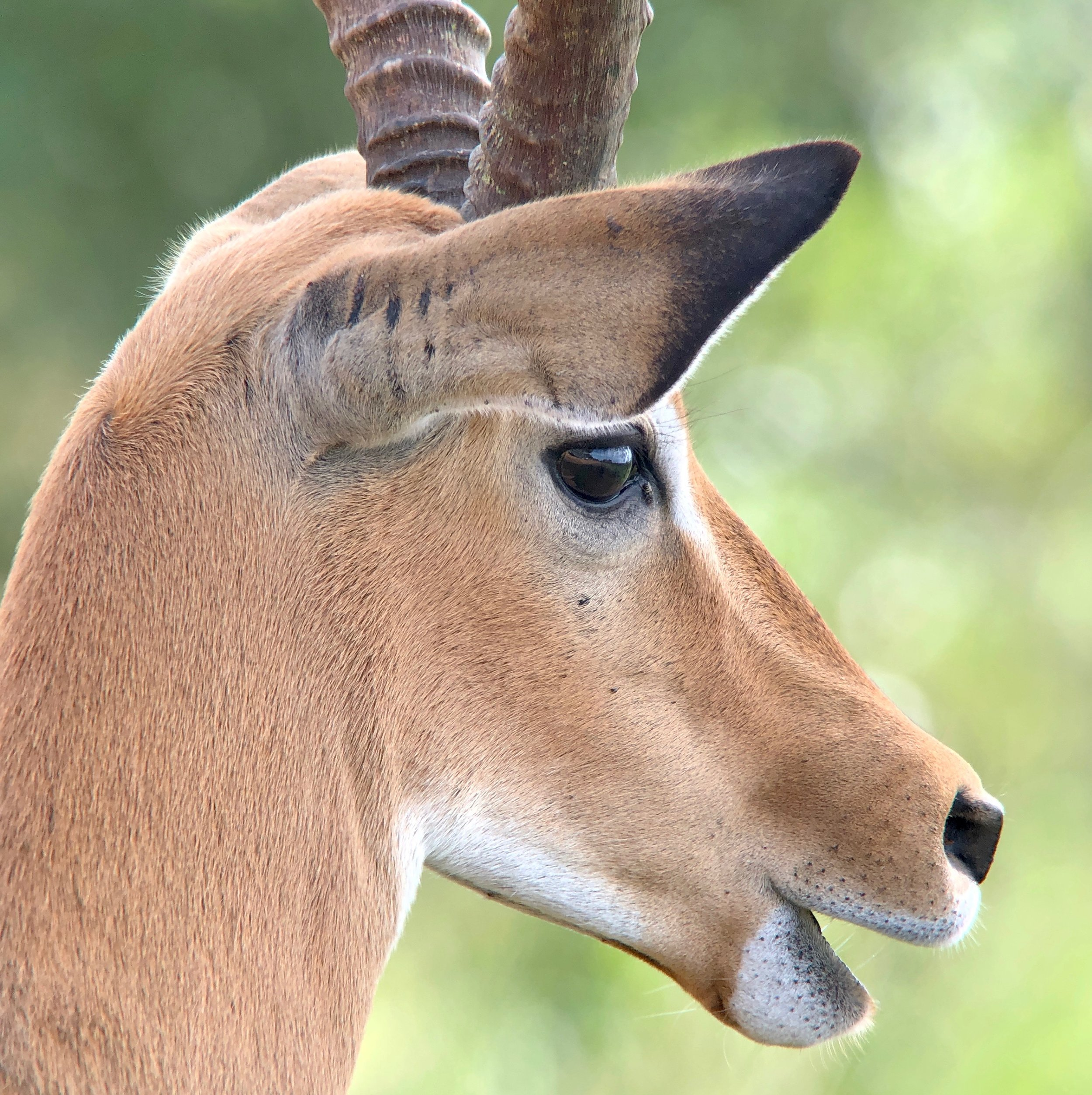 Digiscoped image of the male impala's head taken from our safari vehicle.