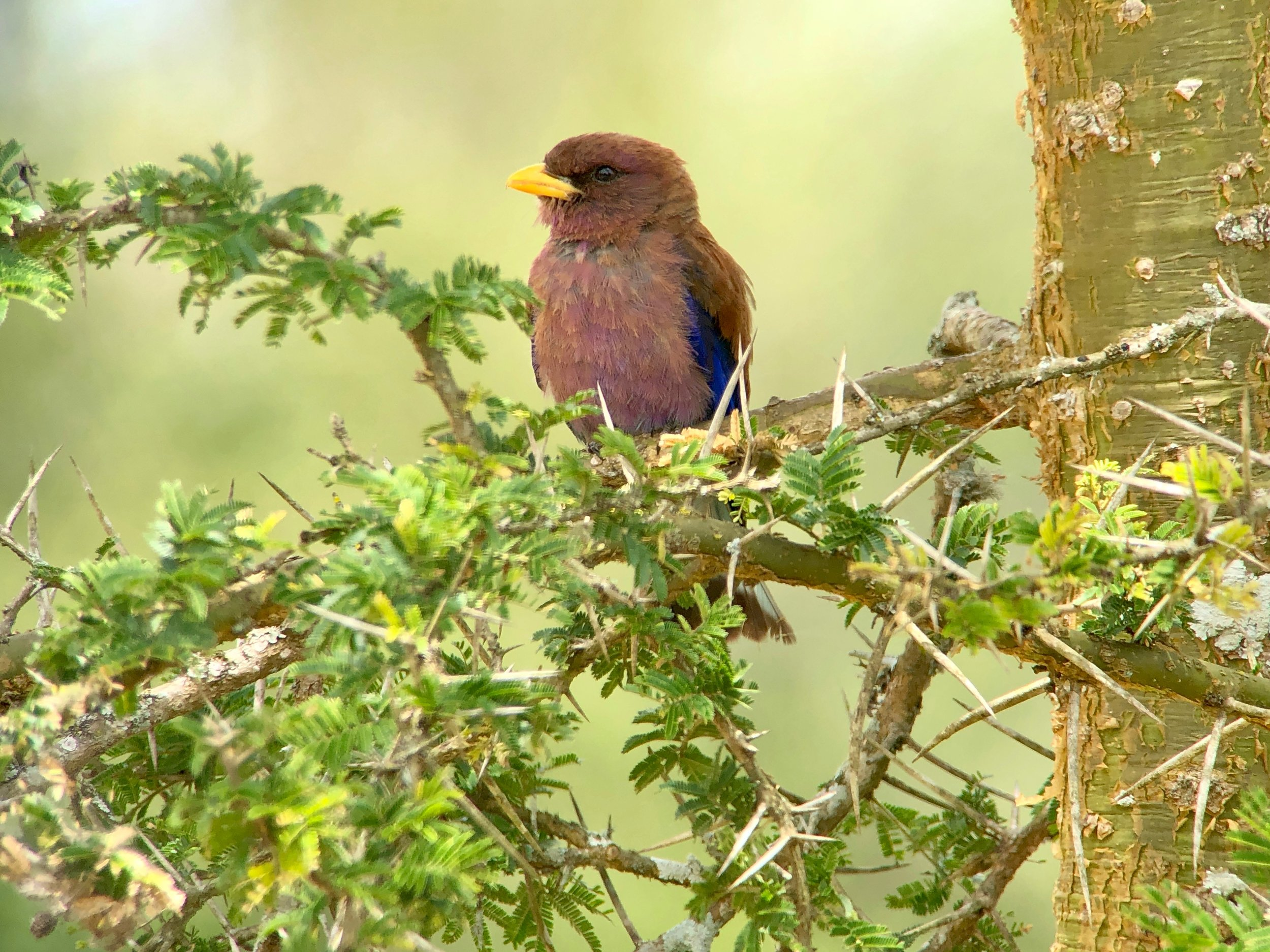 Broad-billed roller digiscoped from the vehicle.