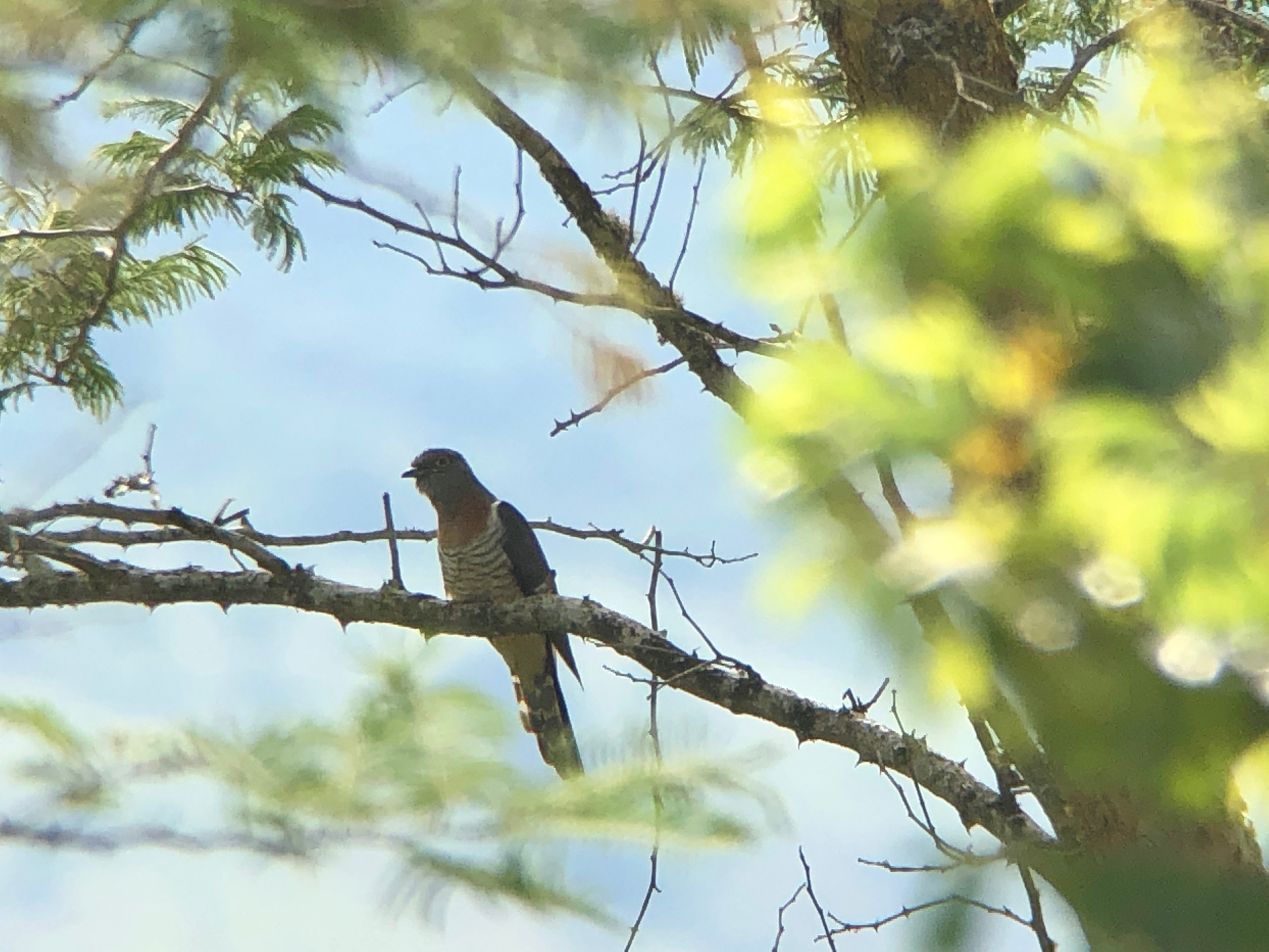 Red-chested cuckoo.