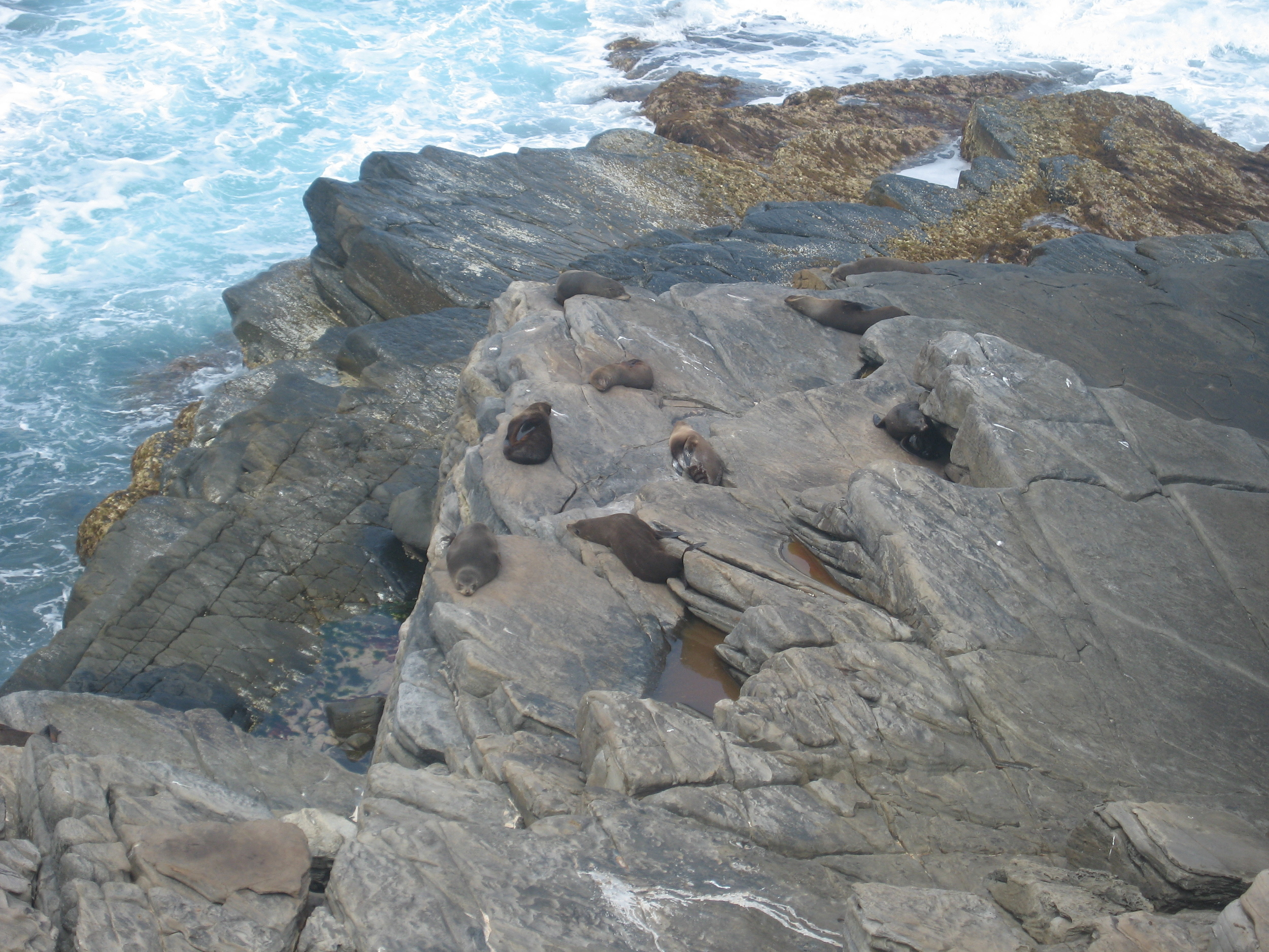 Sea Lions at Admiral's Arch!
