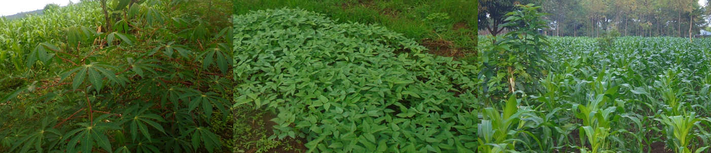 Some of the crops we grow include cow peas, kale, bananas, cassava, and maize (corn)