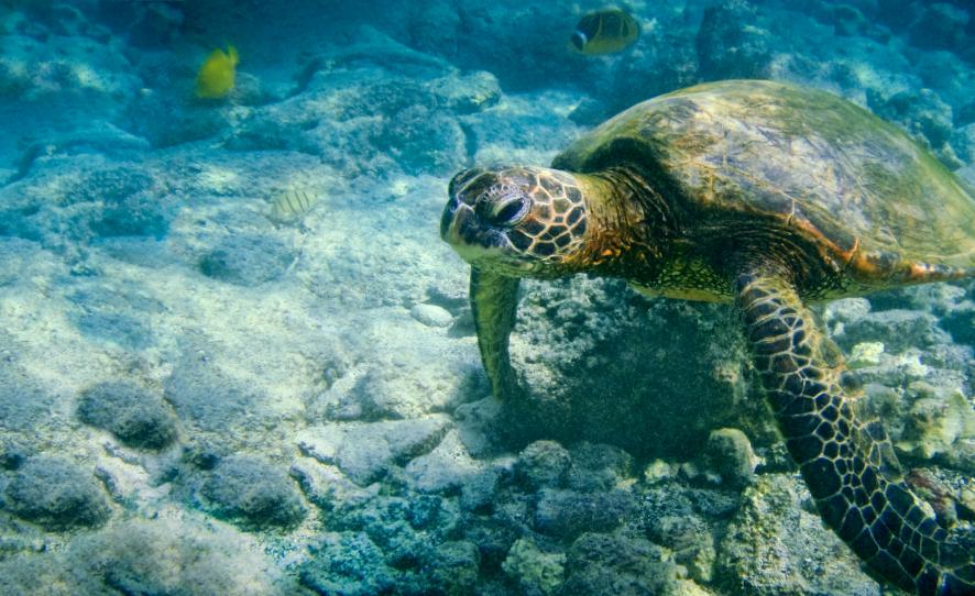 10-iStock_000019578494Small-hawaiian-green-sea-turtle.jpg