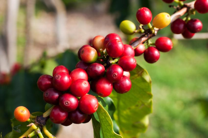 40-iStock_000015152393Small-kona-coffee-cherries.jpg