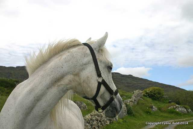 Connemara pony card.jpg