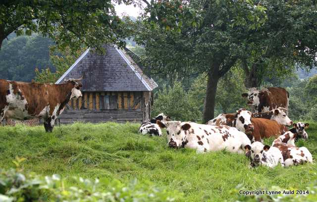 Normandy cows 2 lge.jpg