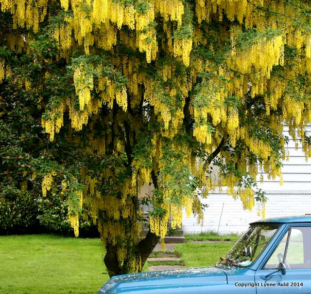 Yellow tree blue car.jpg