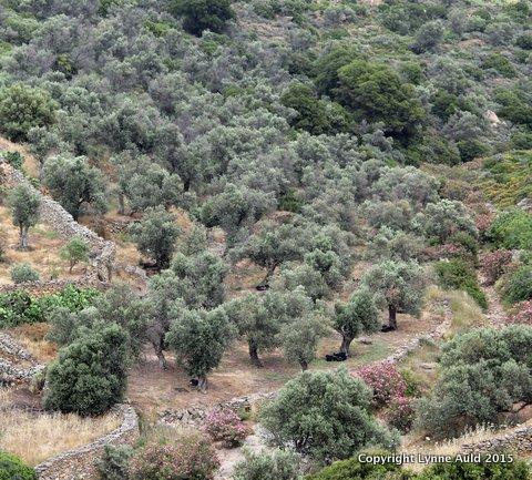 10-Olive grove2 sq.jpg