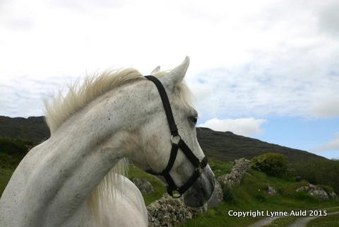 15-Connemara pony.jpg