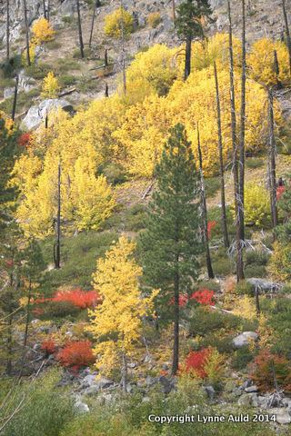 06-Cascades golden clump 2.jpg