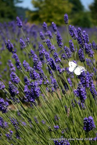 09-Butterfly in lavender.jpg