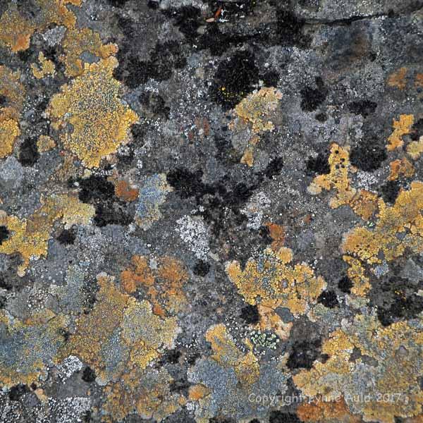 Dynjandi lichen004.jpg