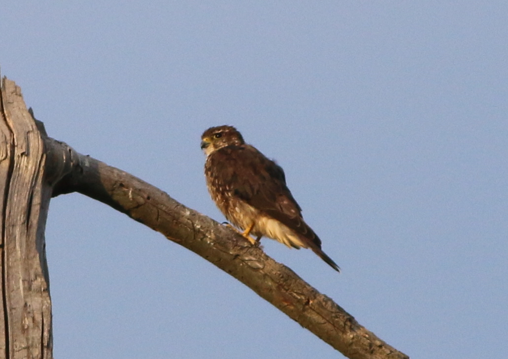 "Merlin, ""Falco columbianus"""