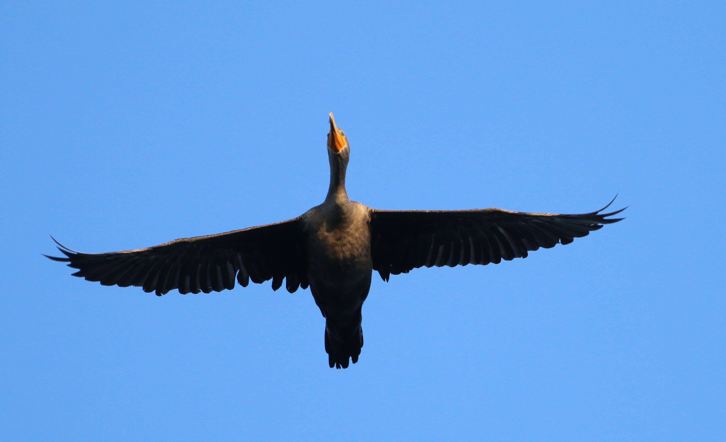Double-crested Cormorant flies overhead!