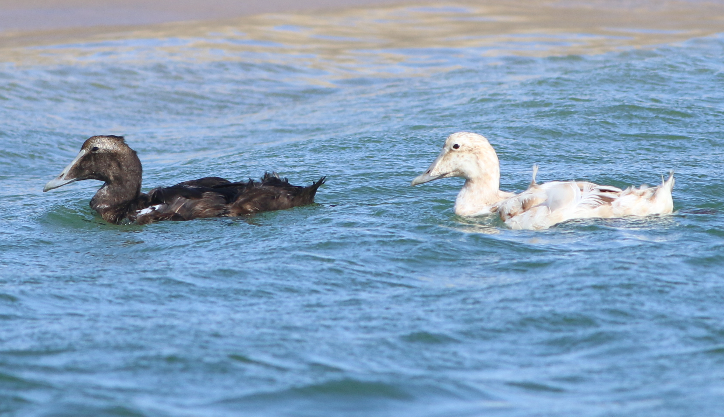 Common Eiders. The one on the right is leucistic.