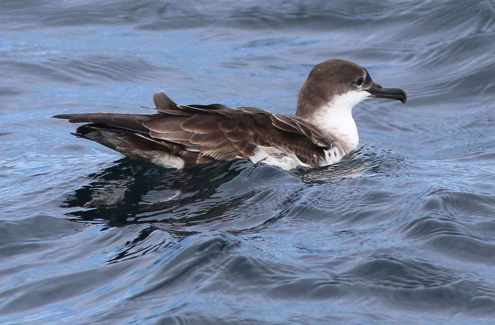 Greater Shearwater