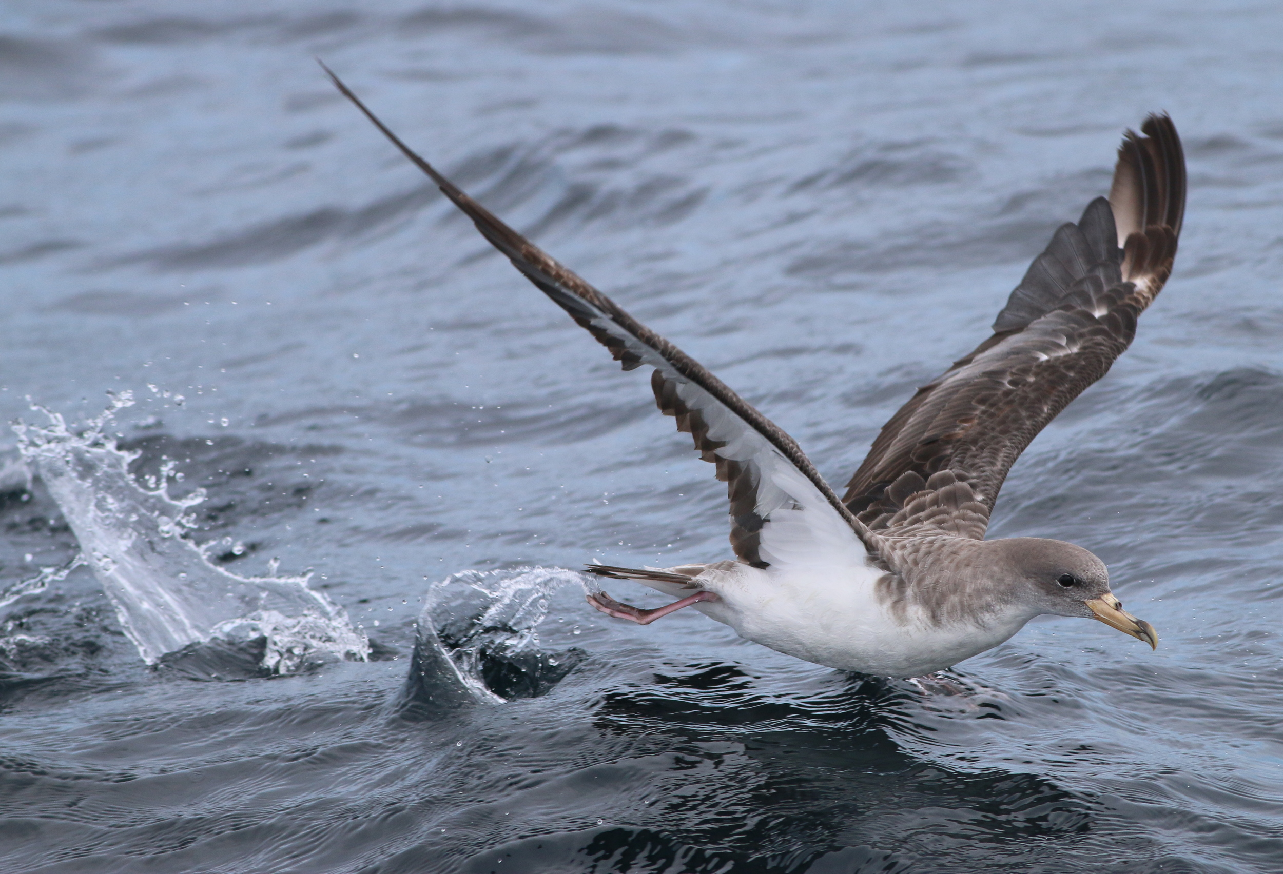 Cory's Shearwater running on water