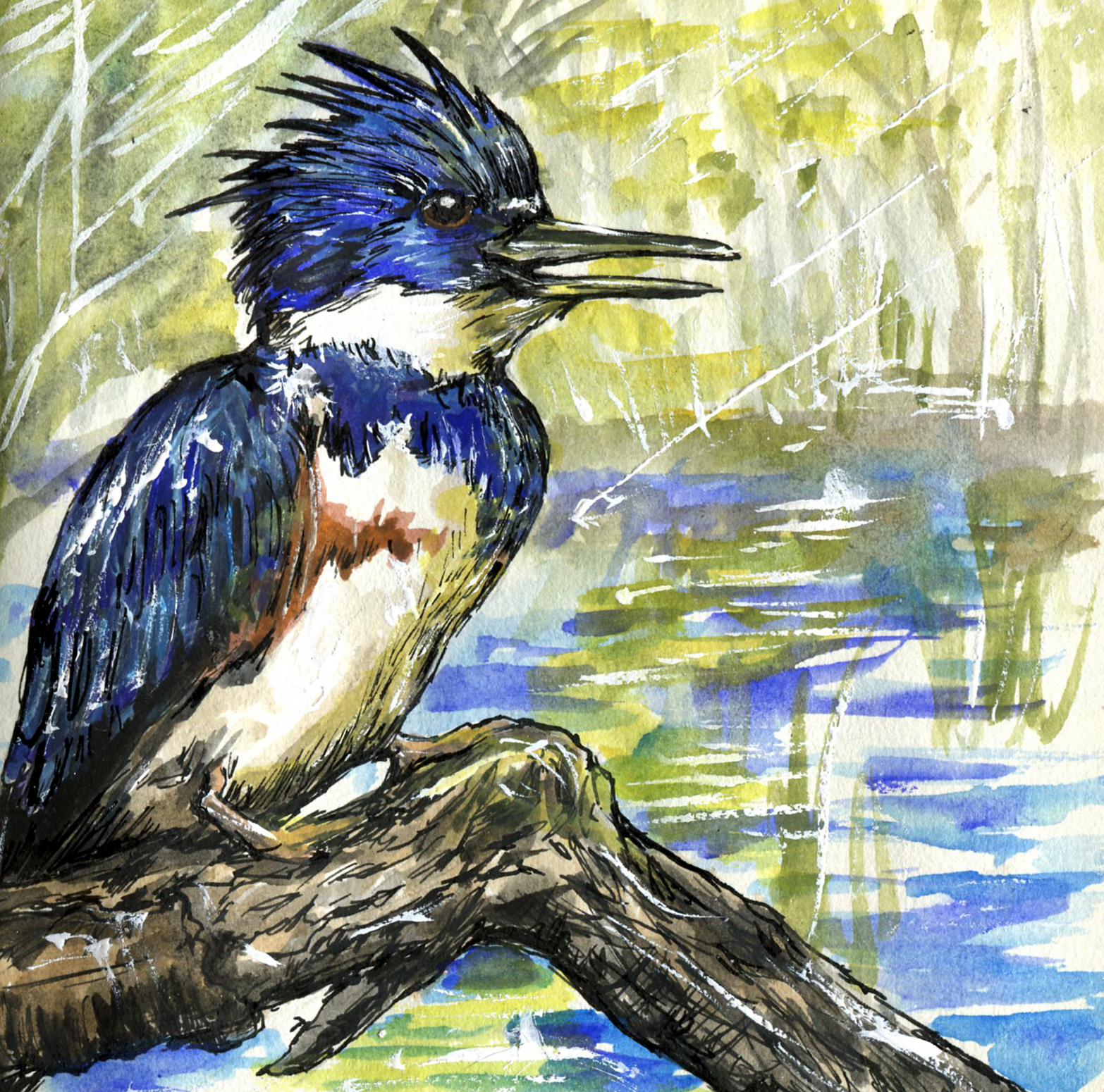 48. Belted Kingfisher