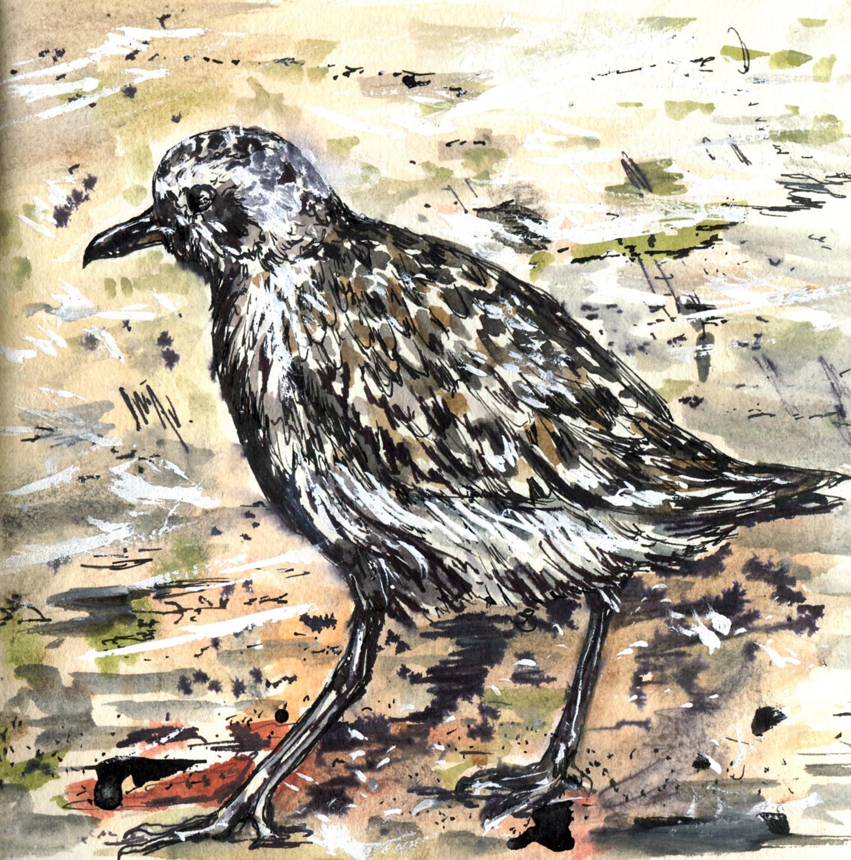 49. Black-bellied Plover