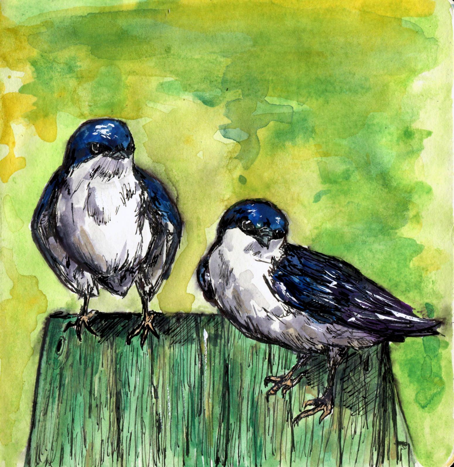 67. Tree Swallow