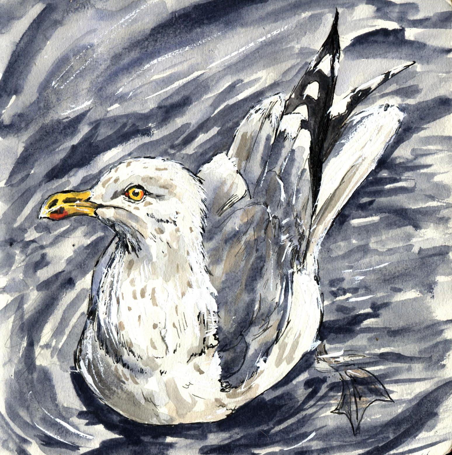 69. Herring Gull