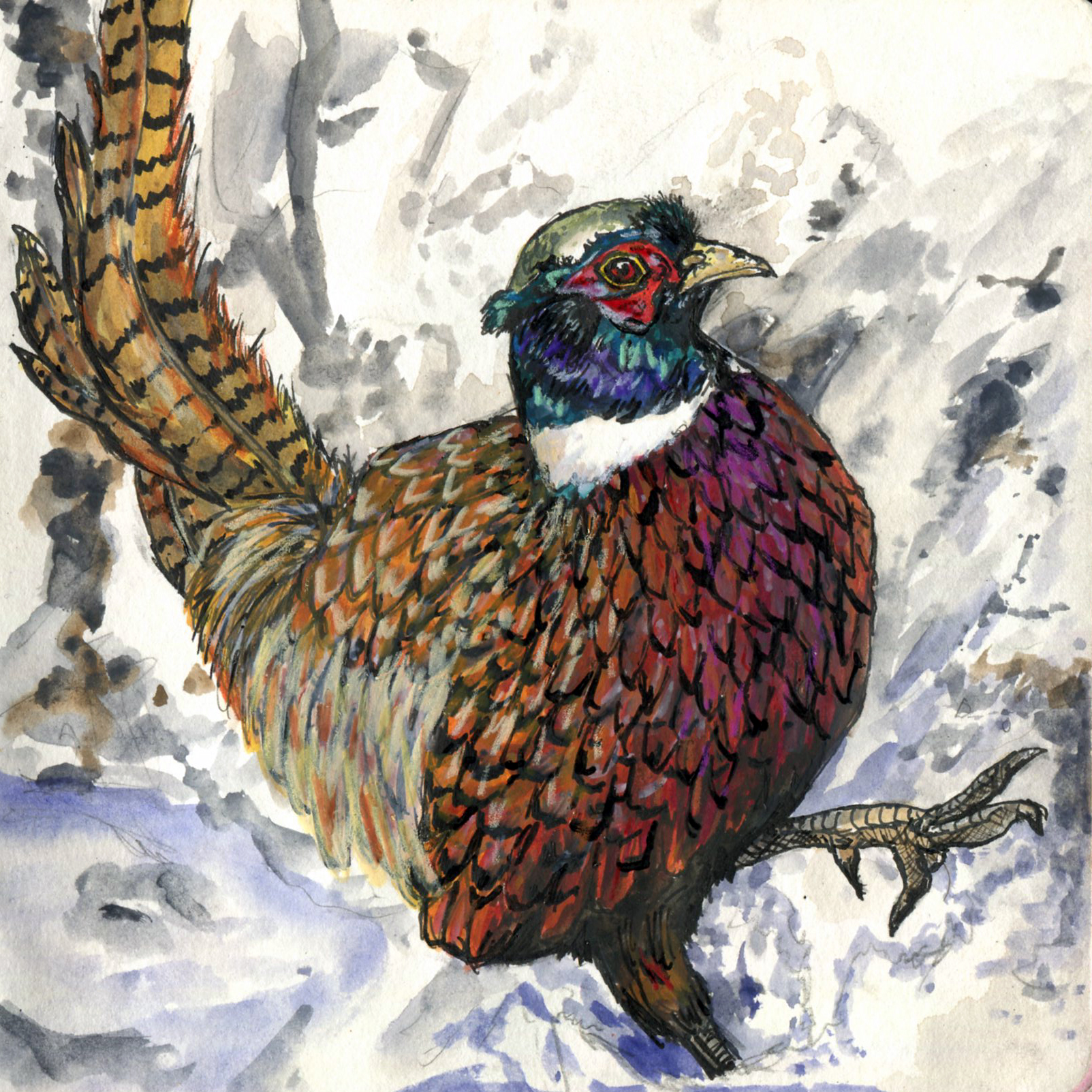 75. Ring-necked Pheasant