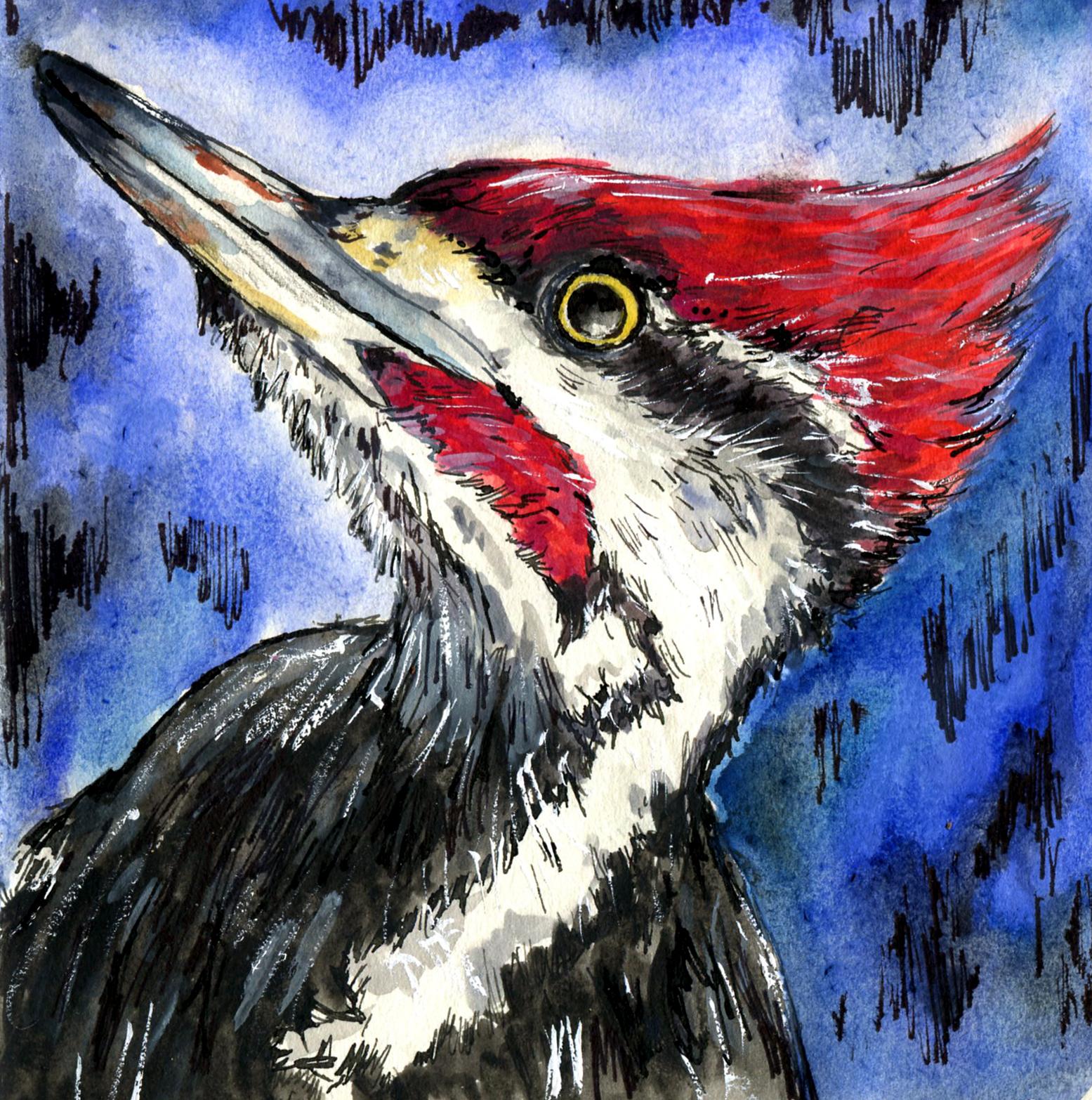 78. Pileated Woodpecker