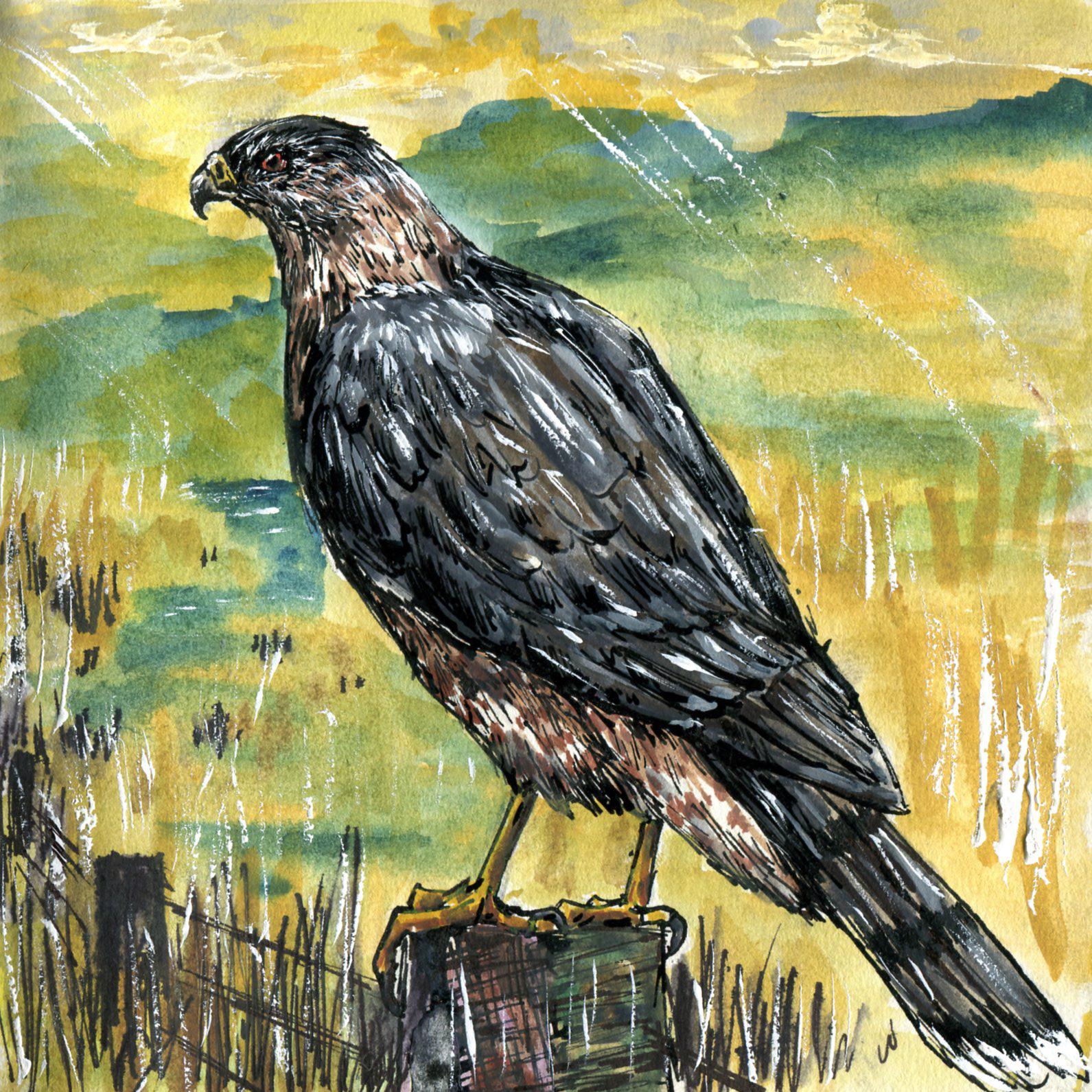 105. Cooper's Hawk