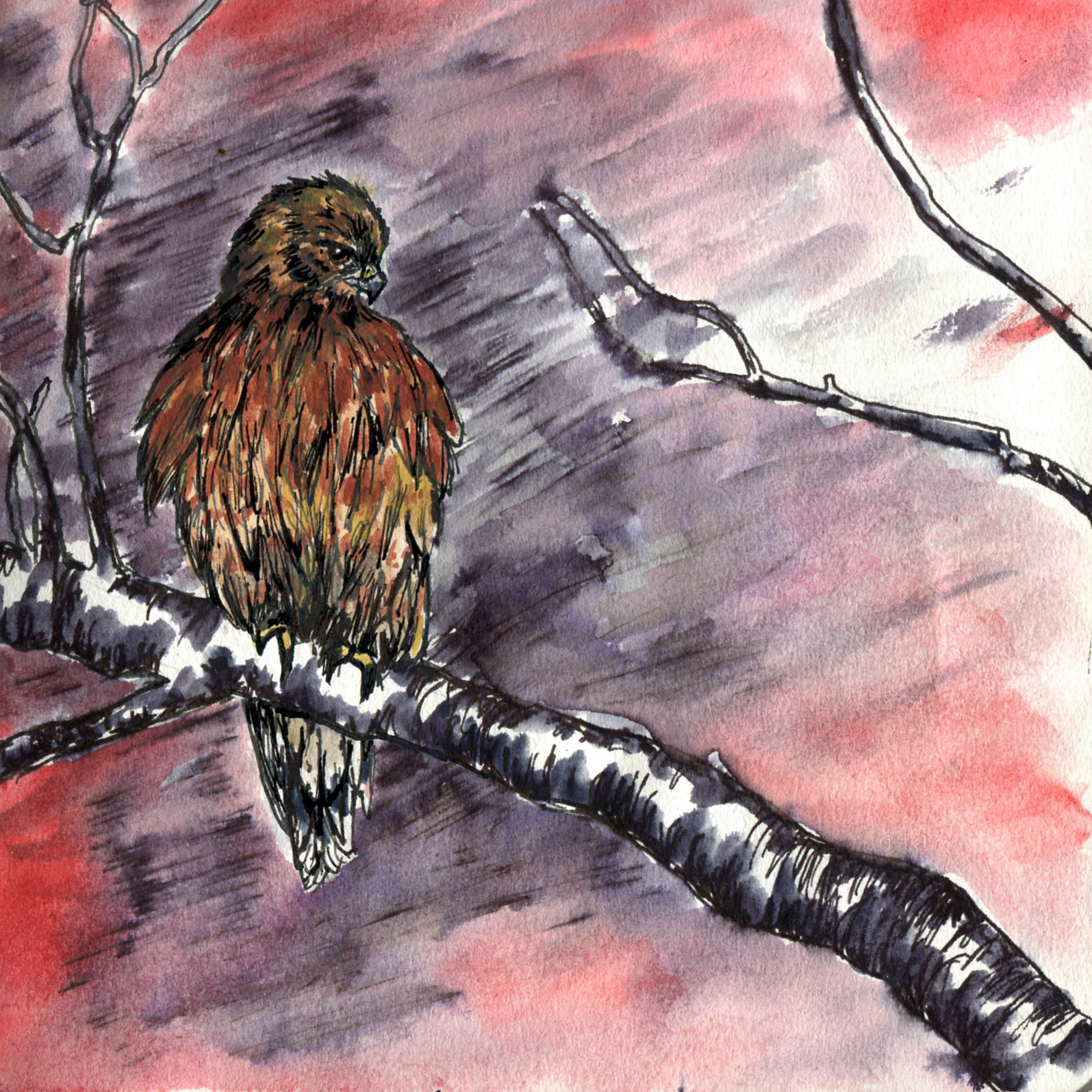106. Red-shouldered Hawk
