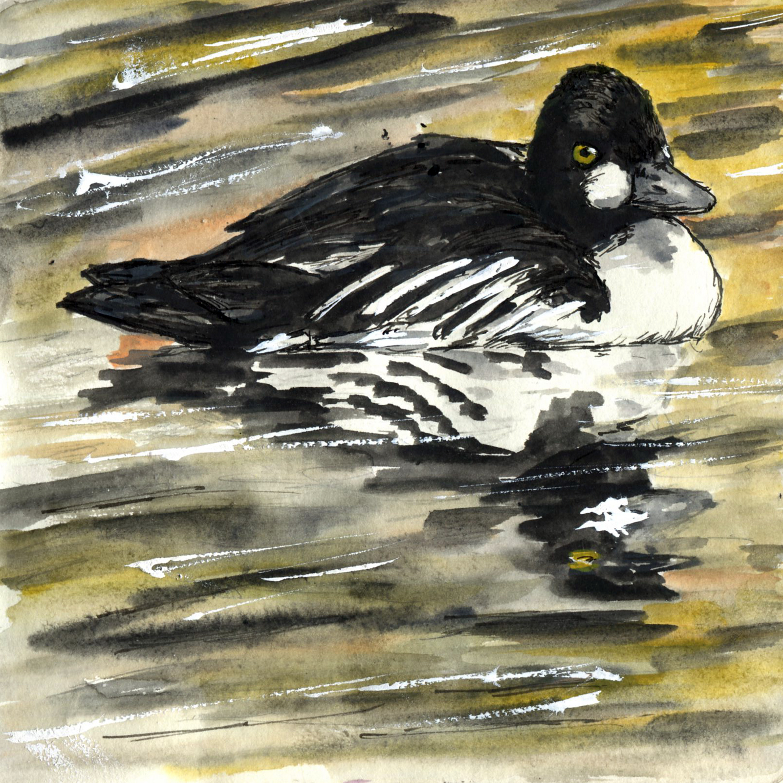 108. Common Goldeneye