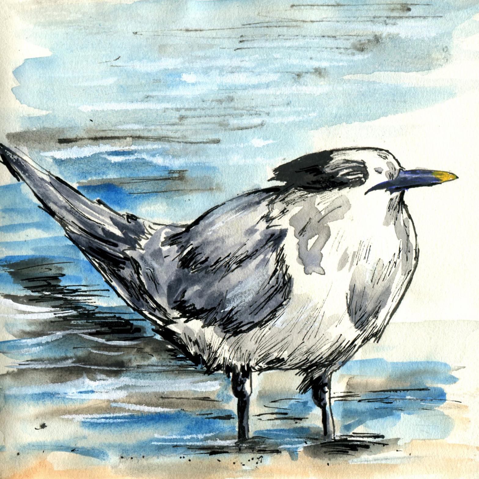289. Sandwich Tern