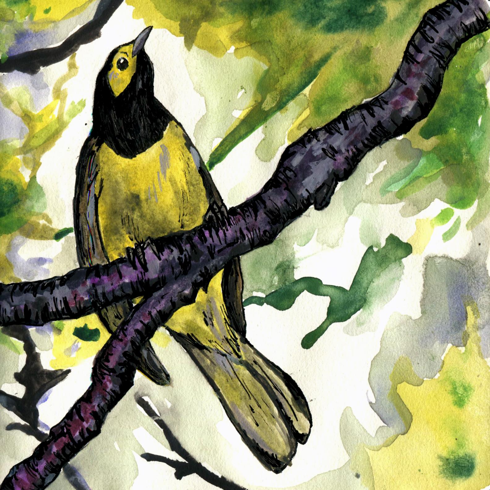 312. Hooded Warbler