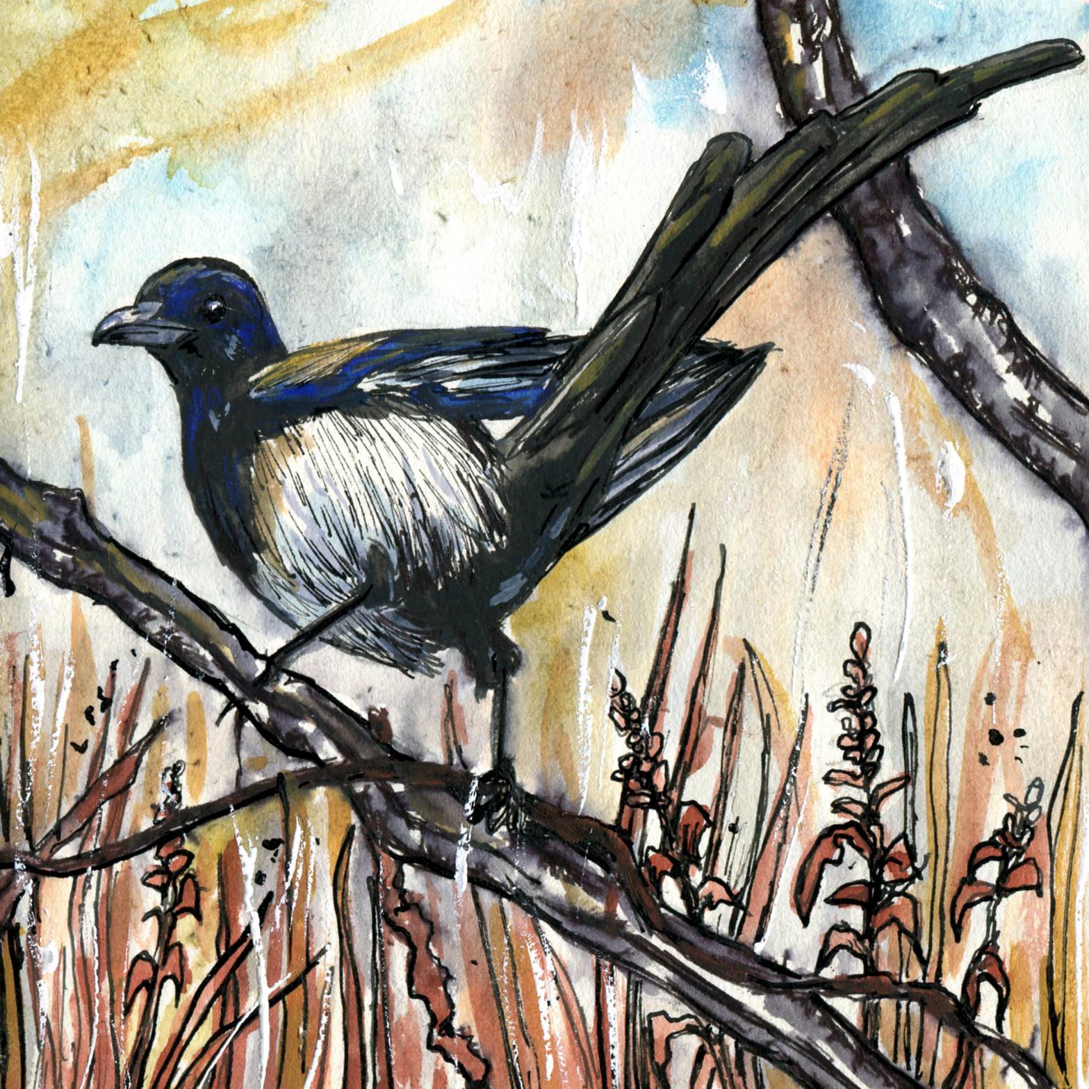 293. Black-billed Magpie
