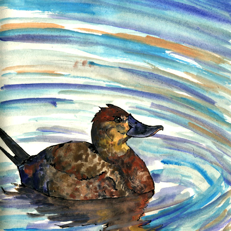218. Ruddy Duck
