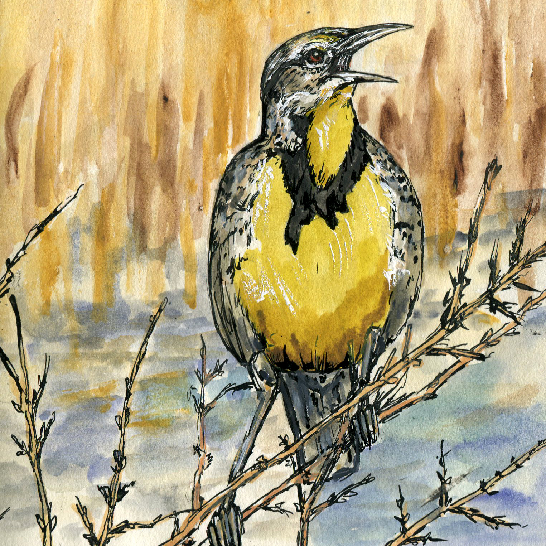 301. Western Meadowlark