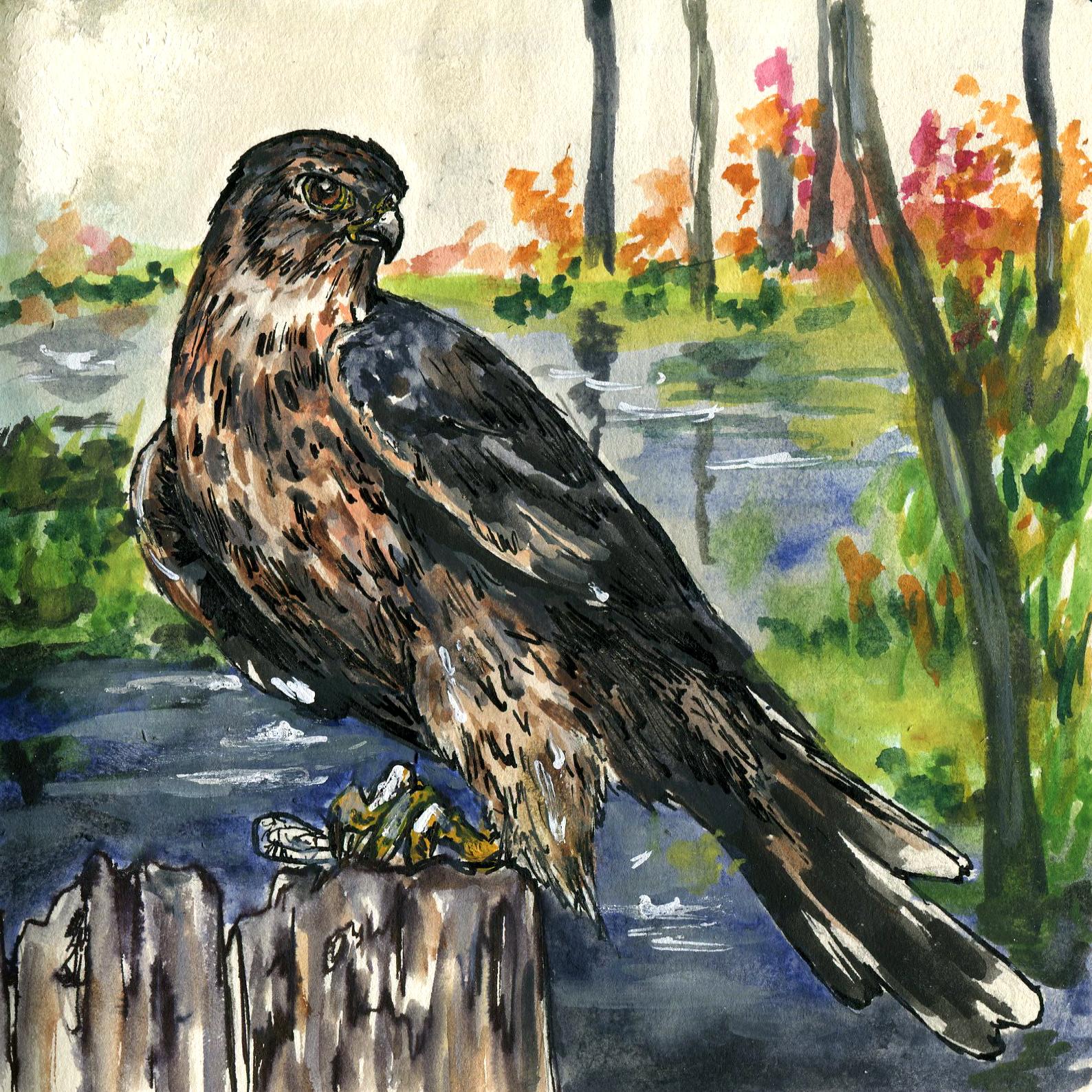 211. Sharp-shinned Hawk