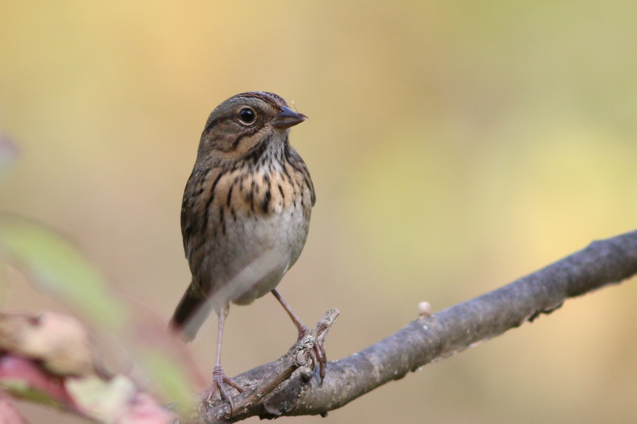 A beautiful Lincoln's Sparrow