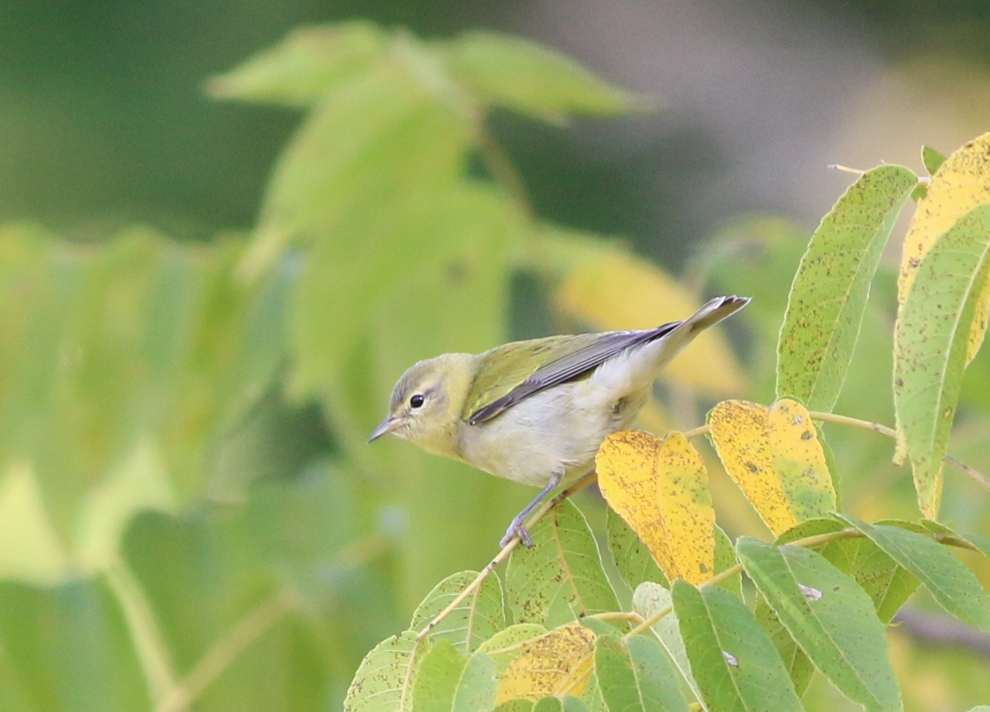 Tennessee Warbler?