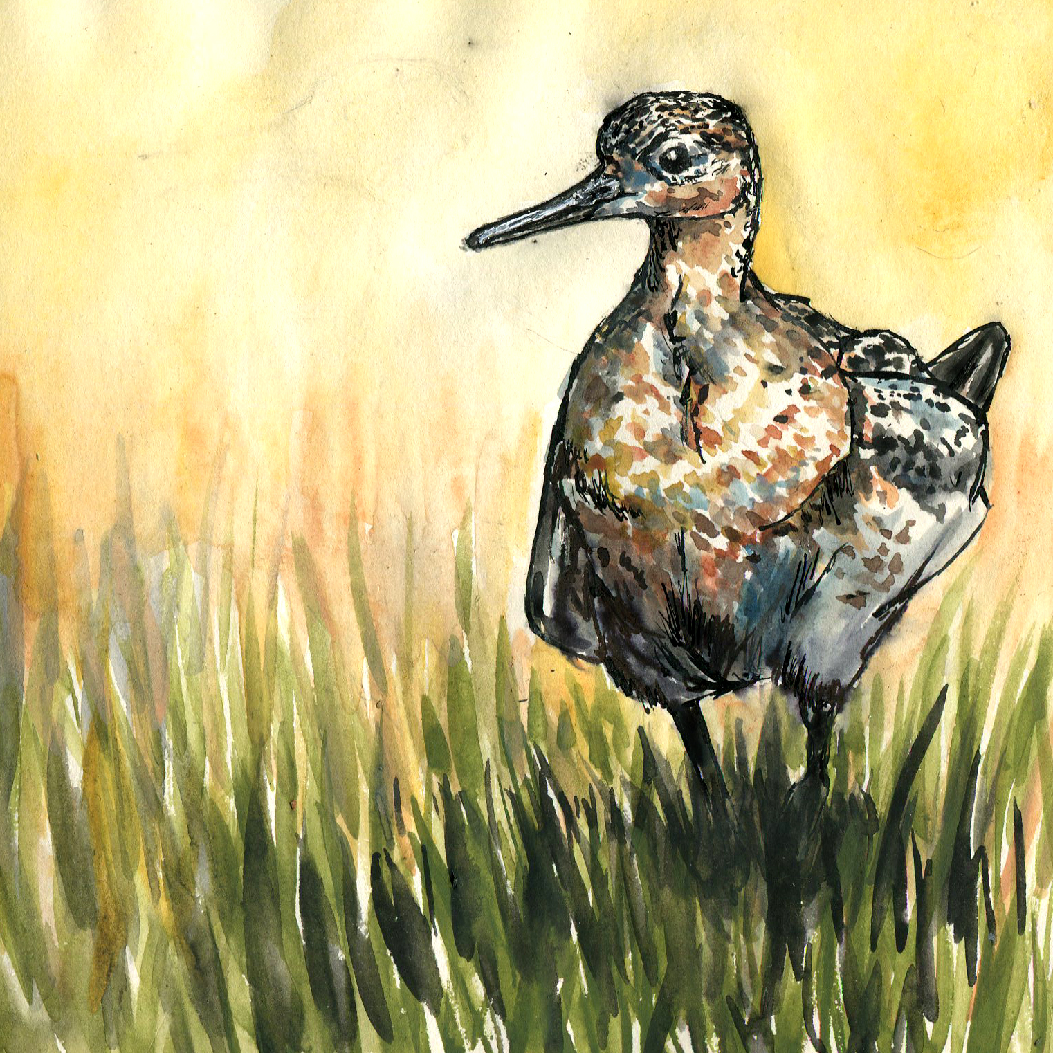 331. Buff-breasted Sandpiper