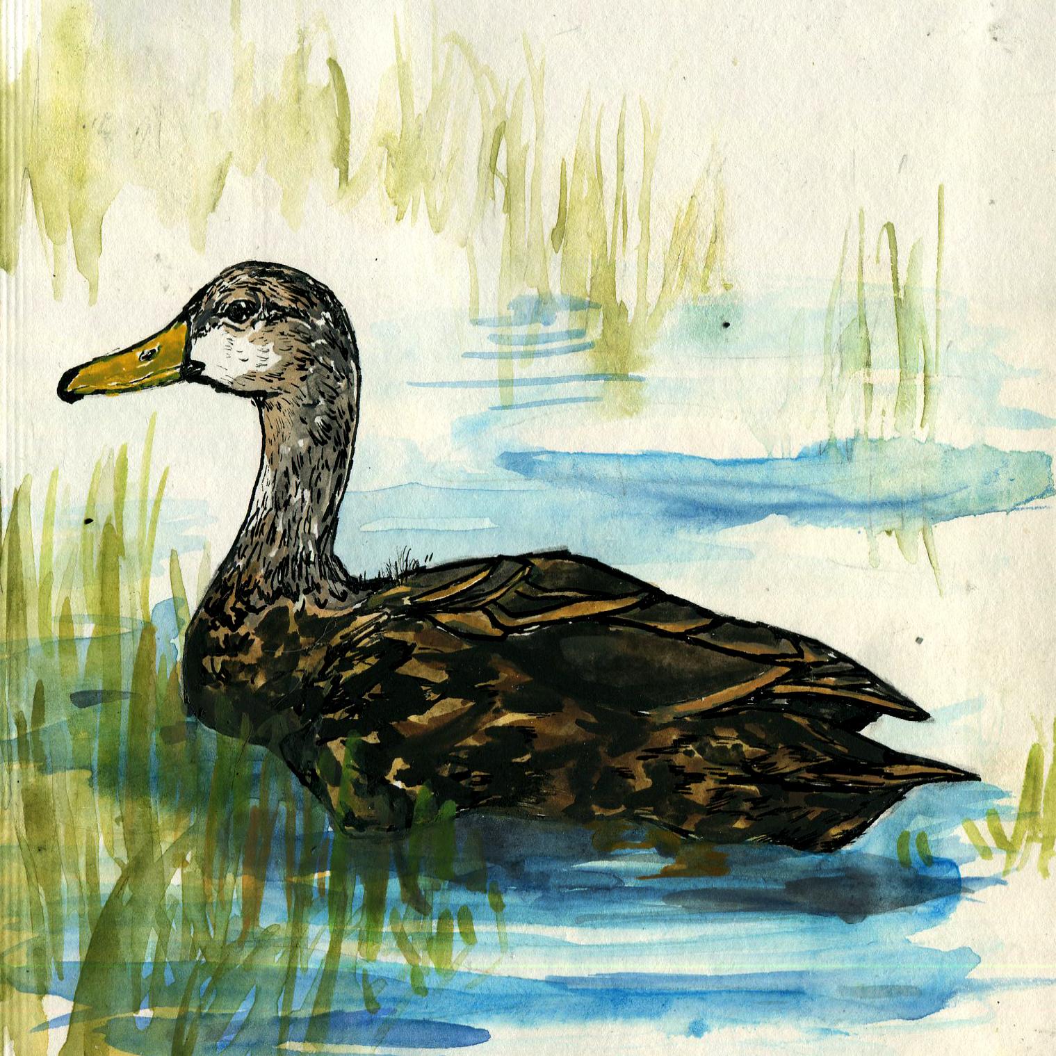 261. Mottled Duck