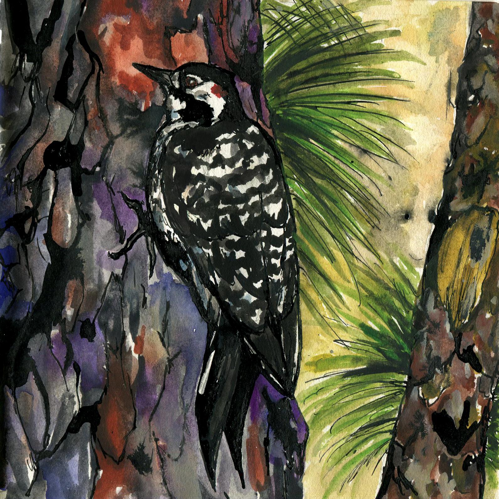 269. Red-cockaded Woodpecker