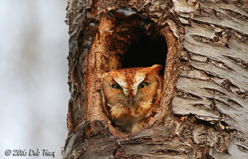 The Screech Owl