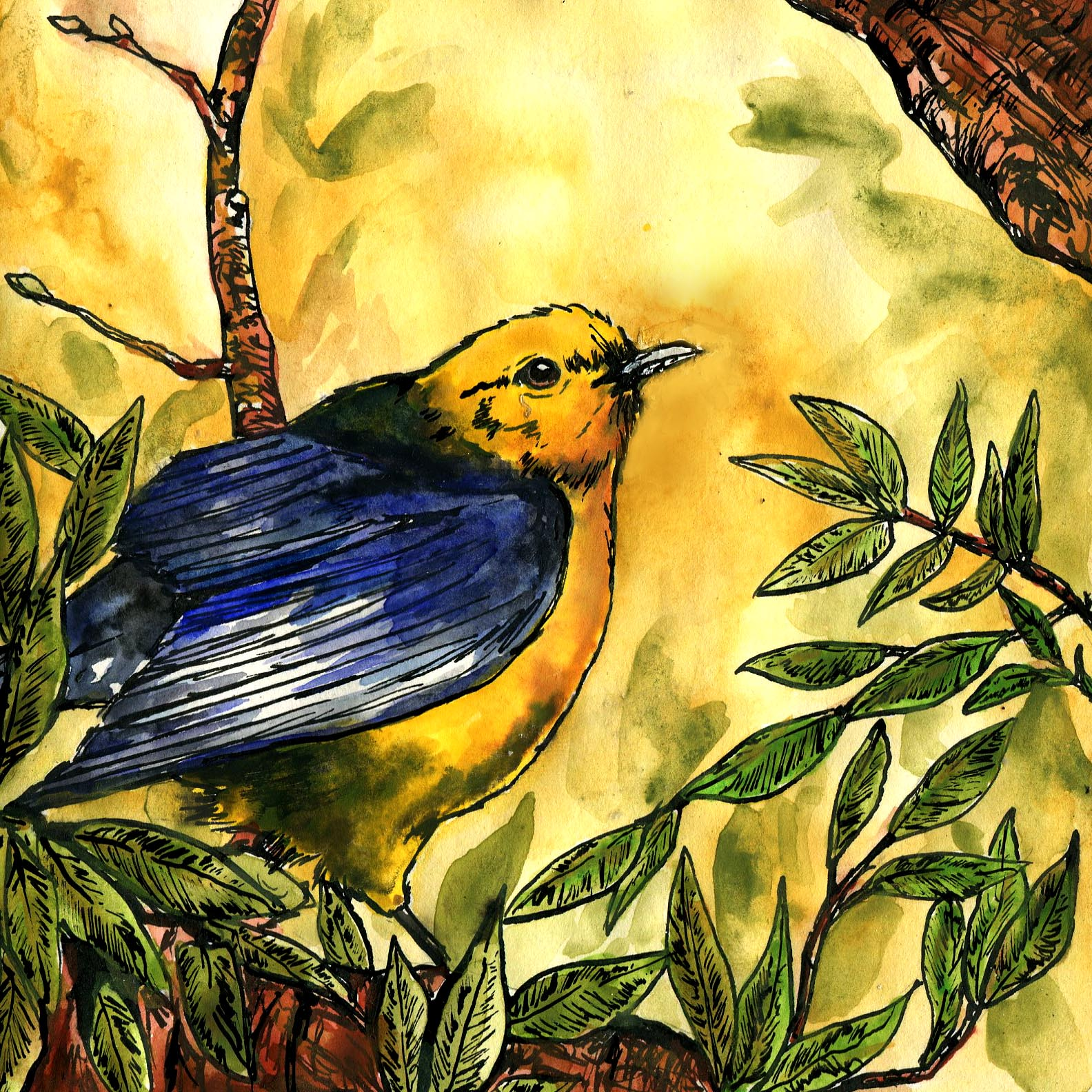396. Prothonotary Warbler