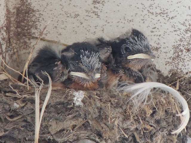 Baby Barn Swallows! Photographed near Smuggler's Beach, Cape Cod