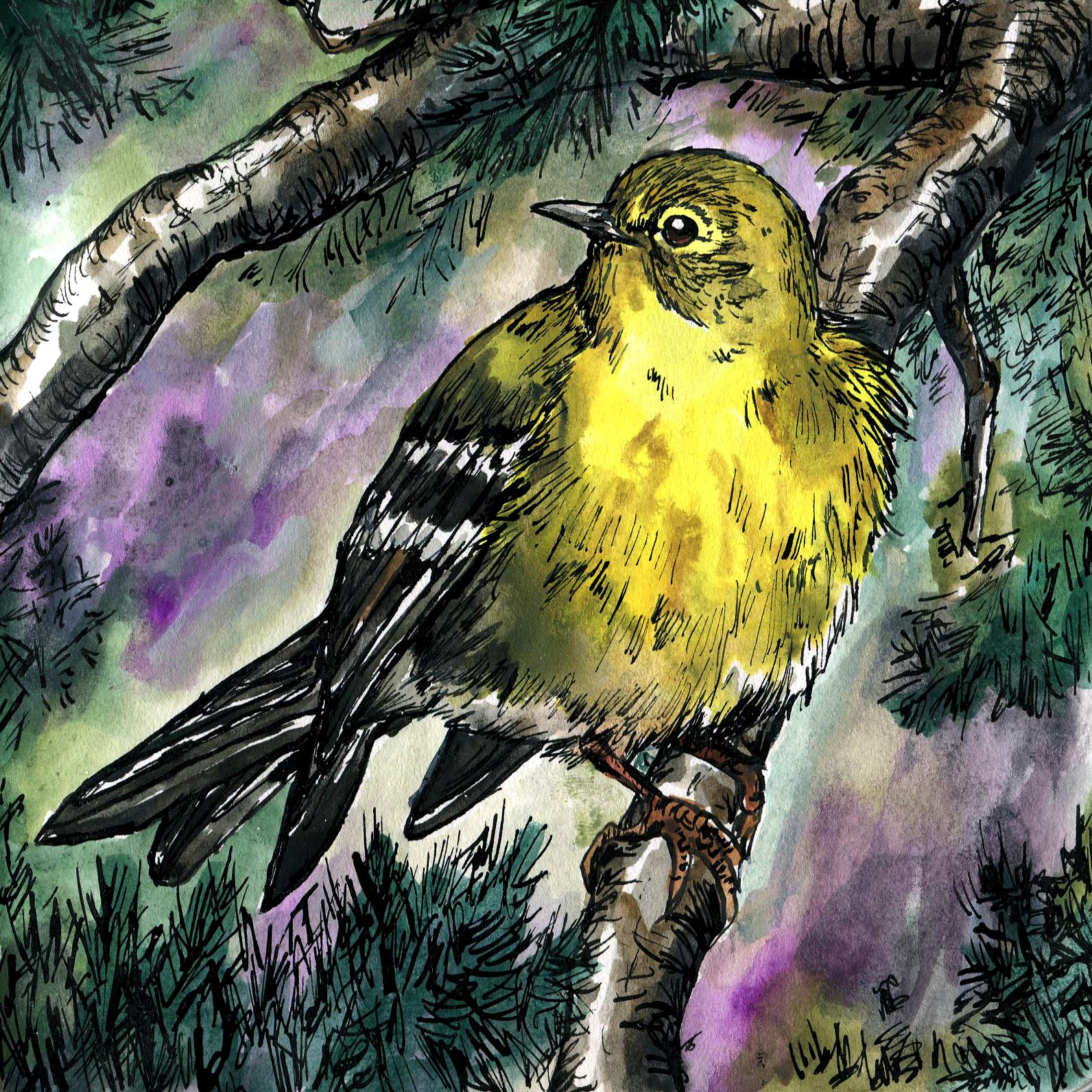143. Pine Warbler